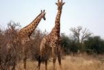 Girafes dans la réserve de Bandia
